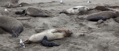 other and Baby Elephant Seals