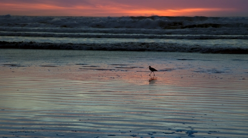 Shorebird at sunset.