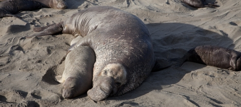 Elephant Seal Love