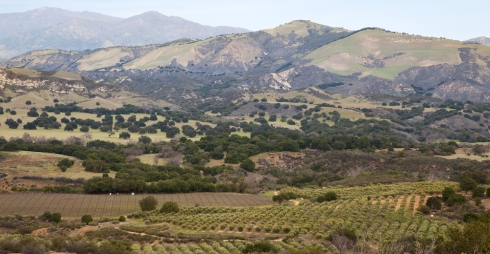 Olives and Grapes in St. Ynez Valley