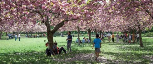 Cherry trees blooming at the Brooklyn Botanical Gardens
