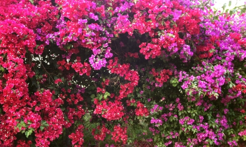 Bougainvillea along the Ventura River Trail