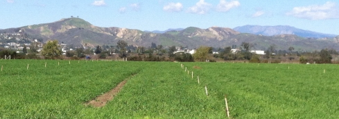 The bike path follows this field just a few blocks from my office. Ventura's famed Two Trees Hill is on the left in the background.
