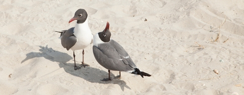 Ritual mating dance of the seagulls.